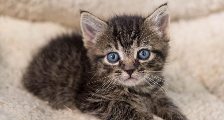 Lieve Kittens te koop (ALLES GERESERVEERD)