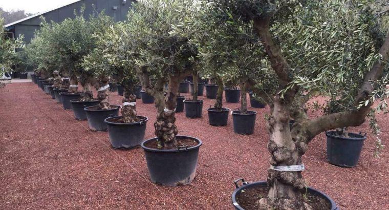 Olijfbomen te koop voor strandtent, beachclub, restaurant!!!