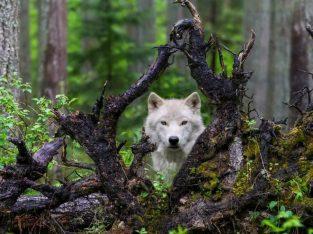 Mooie wolf canvas print
