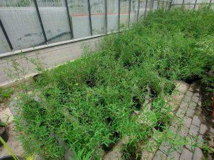 bamboe fargesia niet woekerend vele soorte